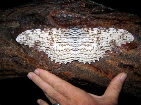 imagenes de mariposas nocturnas galer 237 a de im 225 genes mariposas nocturnas