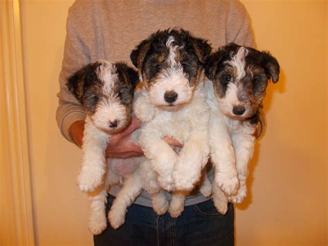 fox puppies for sale wire fox terrier puppies for sale walsall west midlands pets4homes