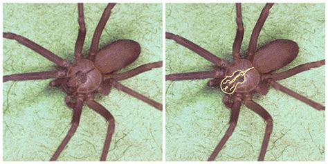eye pattern of brown recluse the world wide web of spiders official blog