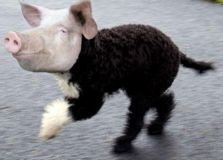 pig dog hybrids mammalian hybrids