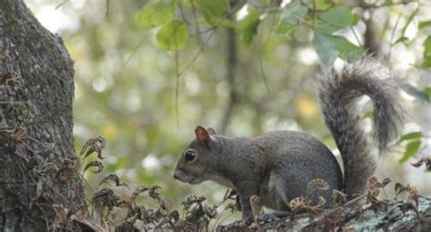 wv metronews west virginia squirrel hunting season opens