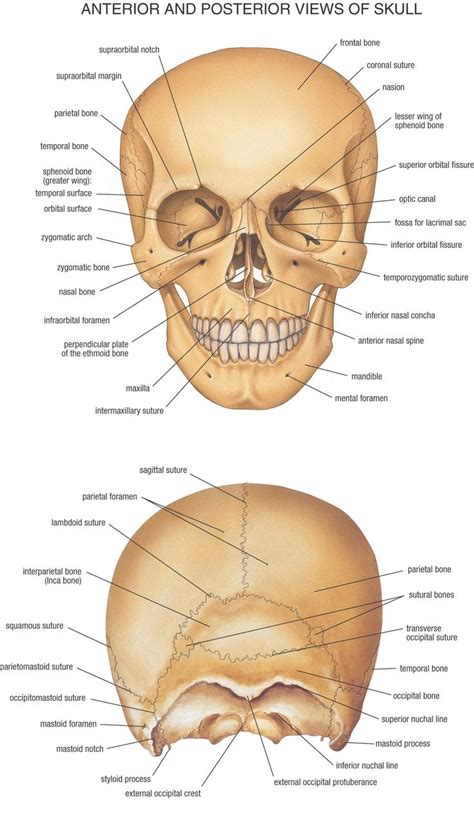 pictures anatomy skull posterior labeled anatomy