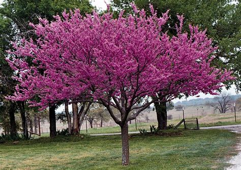 red bud merlot is a perfect spring flowering tree for