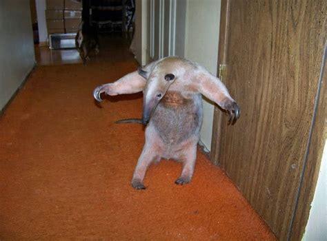 a pet pet anteater damn cool pictures