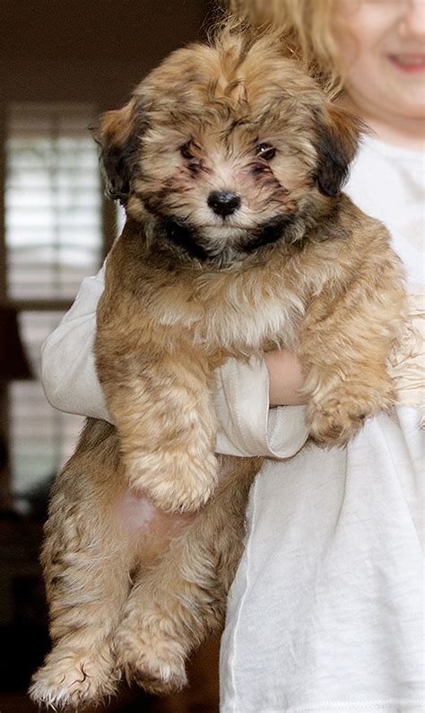 havanese puppies for sale in arizona havanese arizona puppies for sale arizona breeds picture