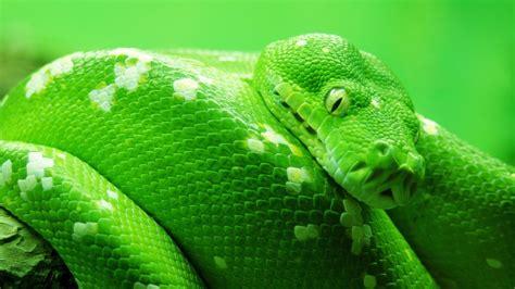 wallpaper snake green  animals