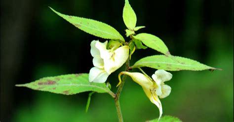 flowers gireeshmenon rugged yellow balsam impatiens