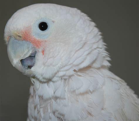 mickaboo companion bird rescue nonprofit in san jose ca