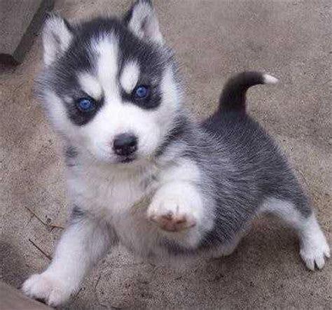 siberian husky puppies for sale in az siberian husky puppies for sale arizona mills tempe az 198154