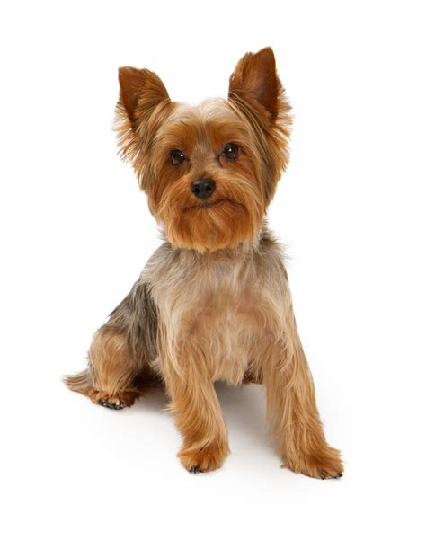 facts about yorkie 10 surprising facts about terriers pet health tips