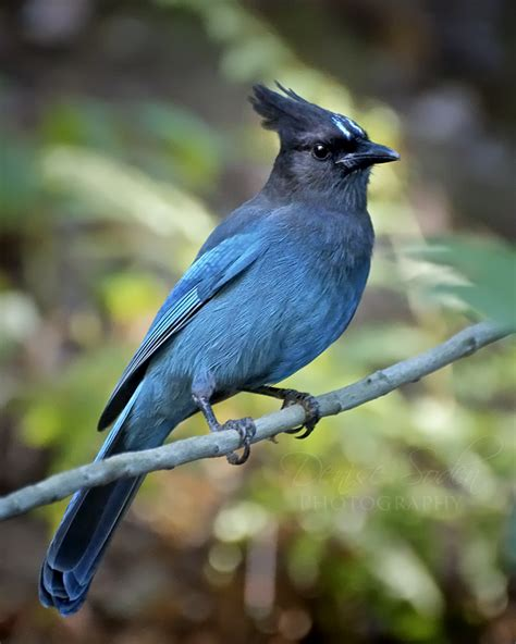 stellar s jay by denisesoden on deviantart