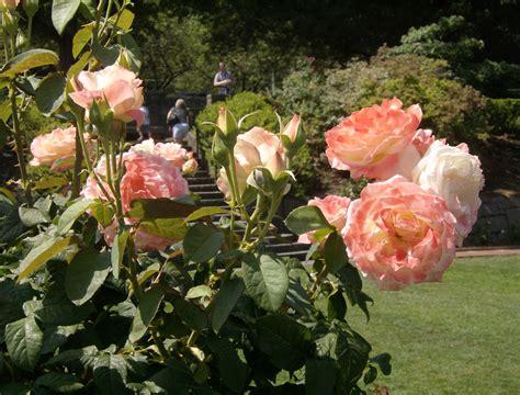 rose gardening portland oregon s rose garden steve snedeker s