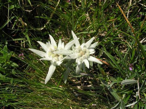 edelweiss bloem oostenrijk flora