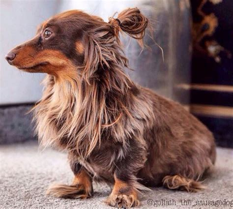 Dog With Man Bun | our present to you dogs in man buns glamour