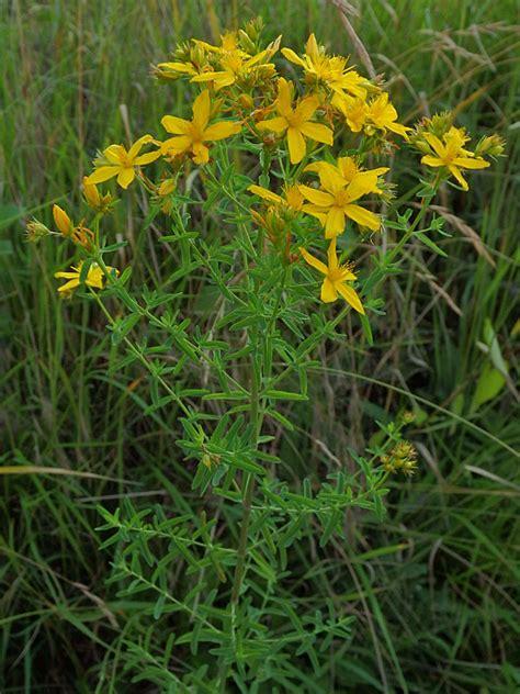 iperico fiore fiori ed erbe spontanee giallo bianco verde