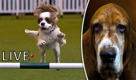 best live show crufts 2017 live competition updates winners