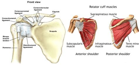 c section shoulder pain liver disorders names