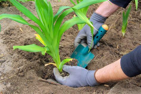 Taglilien Teilen by Taglilien Umpflanzen 187 So Wird S Gemacht