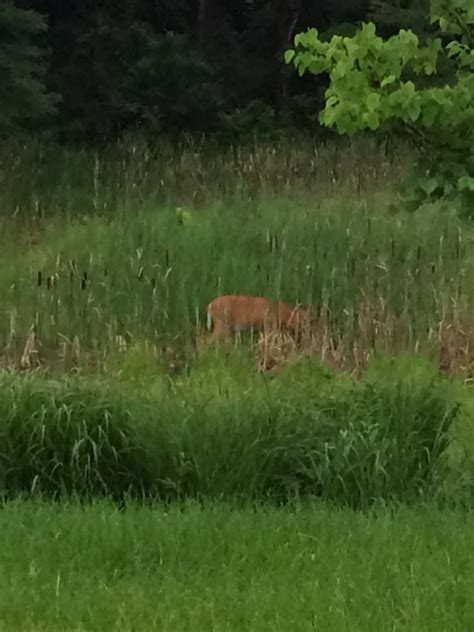 kobacker house columbus ohio doe comes up to the rushes to get a drink of water behind kobacker hospice house yelp