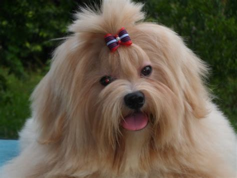 lhasa puppies lhasa apso photo and wallpaper beautiful lhasa apso pictures