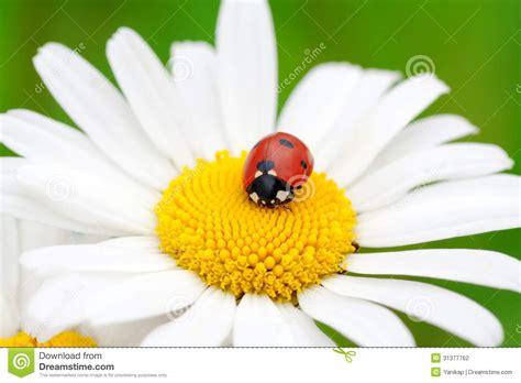 fiore della camomilla coccinella su un fiore della camomilla fotografia stock