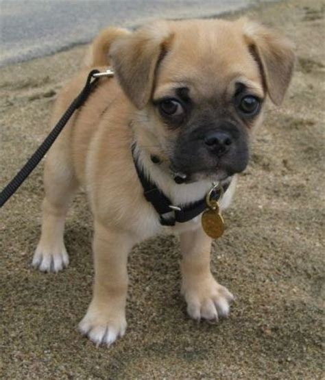 chihuahua mix with pug 25 best ideas about pug chihuahua mix on pug mix pug mixed breeds and