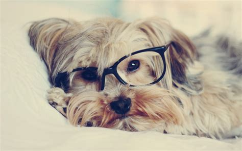 puppy with glasses with glasses wallpaper 1162385