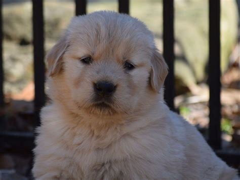 golden retriever breeders in central pa golden retriever puppies for sale page 3 akc marketplace