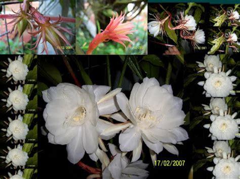 harga tanaman bunga wijaya kusuma tanamanbaru