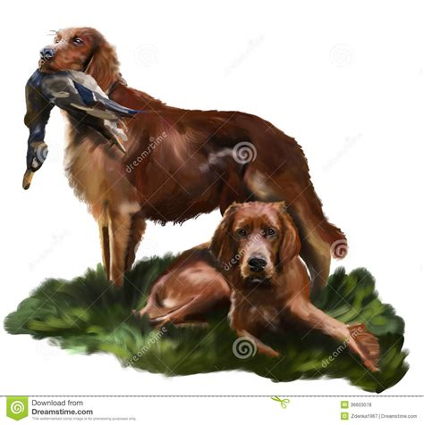 irish setter dog time irish setter stock illustration illustration of copper