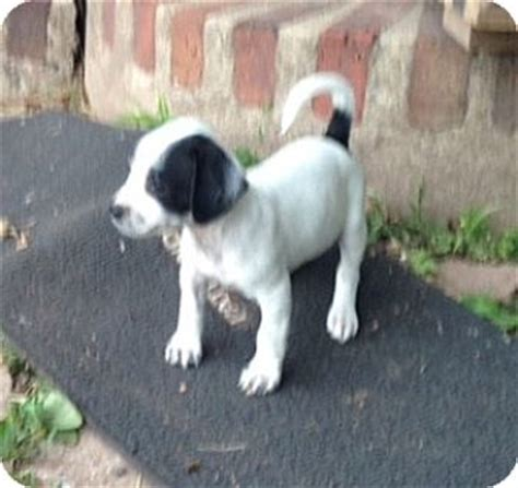 havanese nj shyra adopted puppy pennigton nj beagle havanese mix