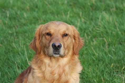 golden retriever stud dogs golden retriever stud newark nottinghamshire pets4homes