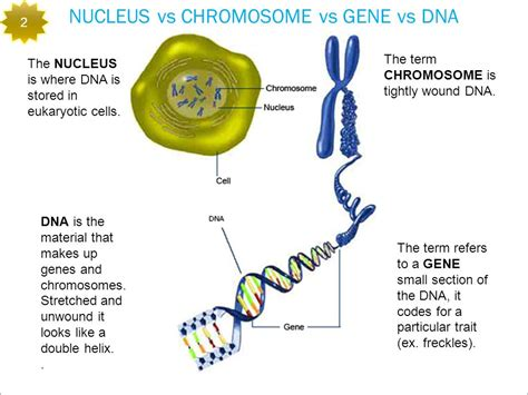 what is a section of a chromosome called what is a section of a chromosome called chromosome