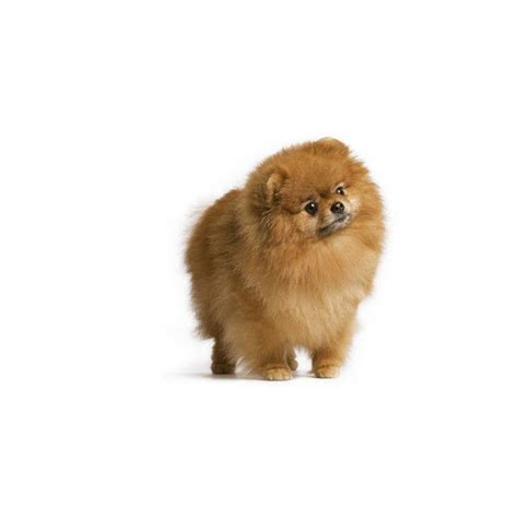 royal canin pomeranian pin by ding marcelo on pomeranians
