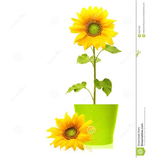 potted sunflower picture more detailed picture about led flower pot gerbera fake flowers sunflower plant isolated stock photography image 32921382
