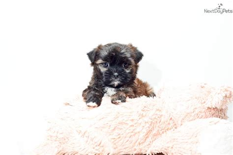 shorkie puppies for sale in ohio shorkie puppy for sale near columbus ohio 3b053231 8f31