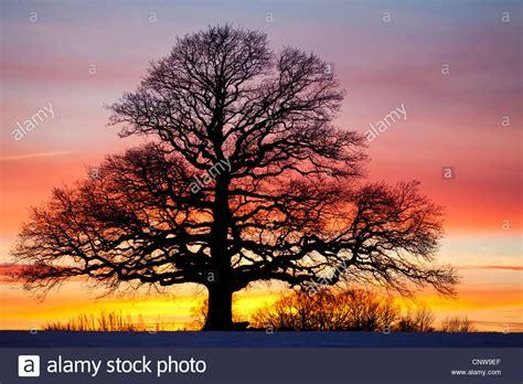 colorful skies oak tree and colorful skies at dusk in r 229 de kommune