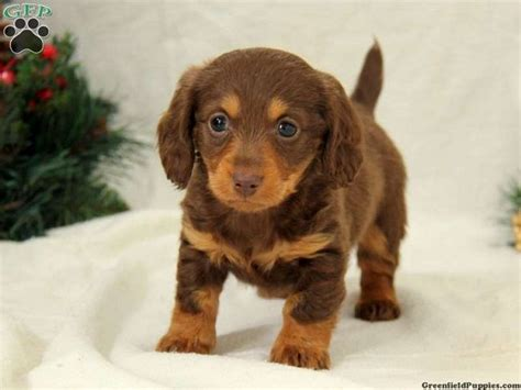 mini dachshund puppies for sale in pa 17 best images about doxie on weenie dogs minis and tans