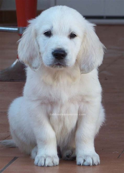 golden retriever puppies ta fl cachorros golden retriever asturias dogs in our photo