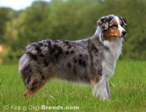 australian shepherd blue merle puppies mini australian shepherd blue merle