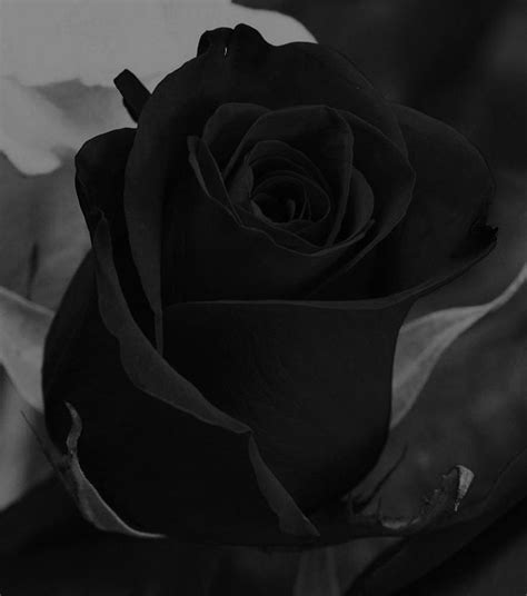imagenes de luto bellas rosas negras black rose pinterest rosas negras