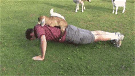 goat push up gif find & share on giphy
