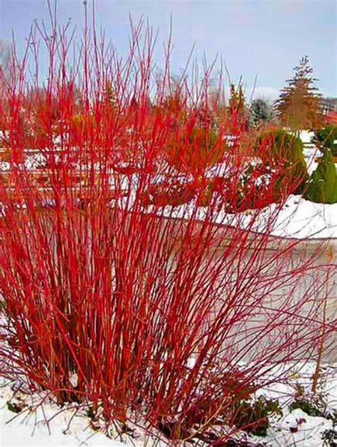 buy shrubs hedges shrubs  hedges  sale
