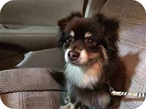 australian shepherd pomeranian mix for adoption gilbert az australian shepherd pomeranian mix meet a for adoption
