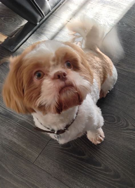 liver and white shih tzu puppy orange and white liver shih tzu for stud duties hornchurch essex pets4homes