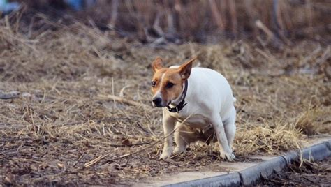 irritable bowel in dogs irritable bowel ibs in dogs symptoms causes and treatments dogtime