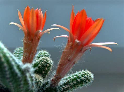 cactus fiori cactus wallpaperart