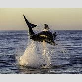 great-white-shark-breaching-hd