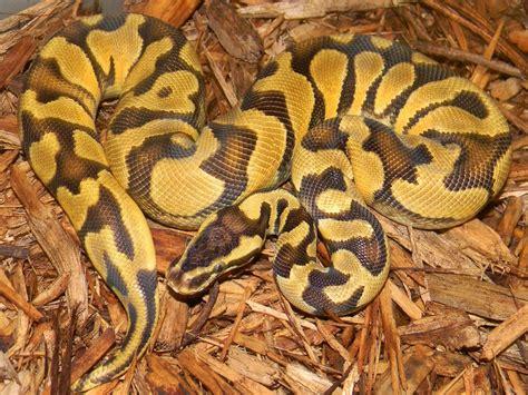 reduced pattern pastel ball python enchi pastel