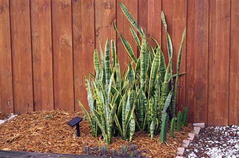 piante da cortile pianta della suocera contro la parete nel giardino